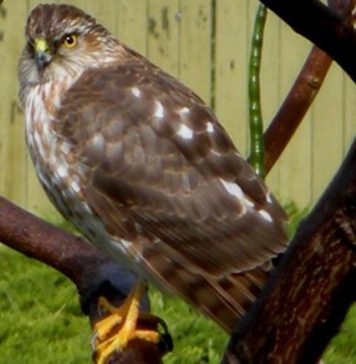 Immature Cooper's Hawk, a bird of prey.jpg