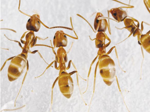 Argentine Ant.jpg